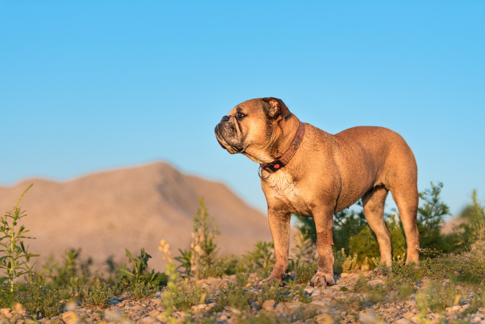 (c) Continental-bulldog.fr